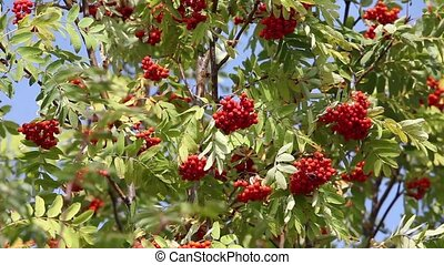 bunches of red rowan swaying in the wind against a blue sky