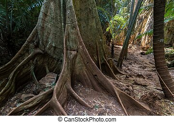Jungle undergrowth - Huge fig tree trunk in jungle...