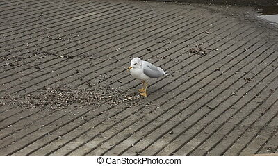screaming gull - a seagull screams when a voice interrupts...