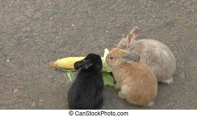 Rabbit eats corn - Little rabbit eats fresh corn
