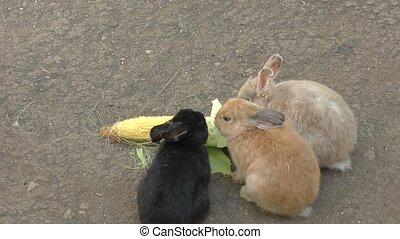 Rabbit eats corn - Little rabbit eats fresh corn