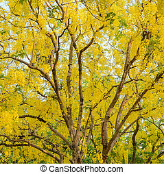Cassia fistula or golden shower tree - Yellow flower of...