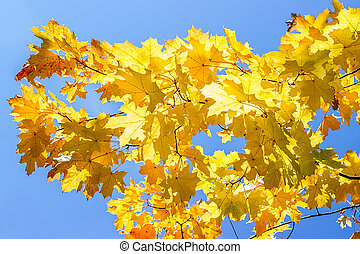 Maple leaves against the blue sky
