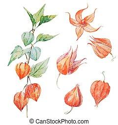 Watercolor vector physalis flower
