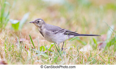 Yellow wagtail, female, perching in grass, summer