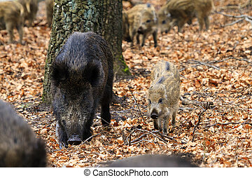 Boar family fall - Beautiful wild boars (Sus Scrofa) in...