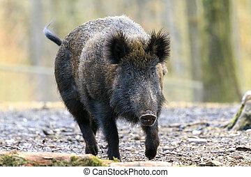 Big wild boar Veluwe - Beautiful wild boar (Sus Scrofa) in...