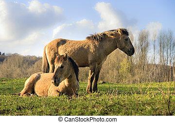 Konik horses couple - Konik horses Equus ferus caballus in...