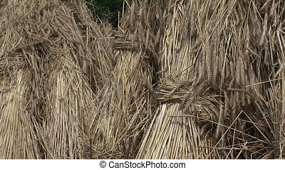Sheaves of corn + tilt up. Bundles of grain stalks tied...