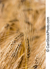 barley field before harvest - a cornfield with barley...