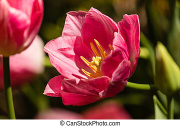 pink tulip flowerhead in bloom - close up of pink tulip...