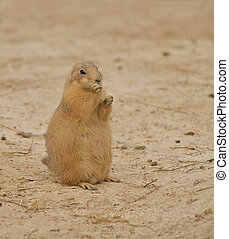 Prairie Dogs (Cynomys) nibbling on a piece of straw.