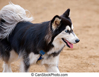 Selective focus image of Siberian Husky with beautiful blue eyes, panting while playing in the park.