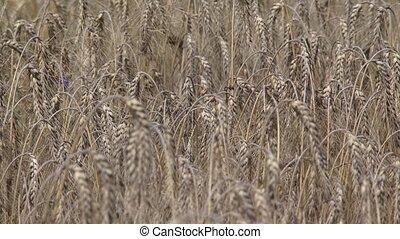 Barley field, hordeum vulgare, ripe summer crop - full...