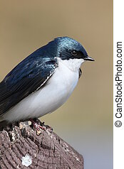 tree swallow closeup - Tree swallow perched on a wooden post...