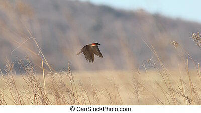 redwing and grass - Male red-winged blackbird flying over...