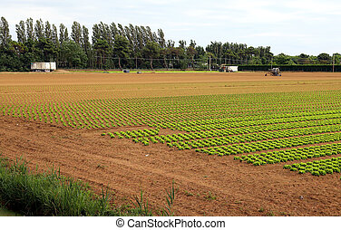 Agriculture: field of green lettuce in summer