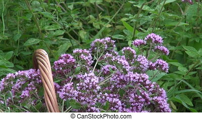 Freshly picked flowering oregano medical flowers in wicker...