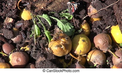 Wasps and butterfly eating pears in compost heap