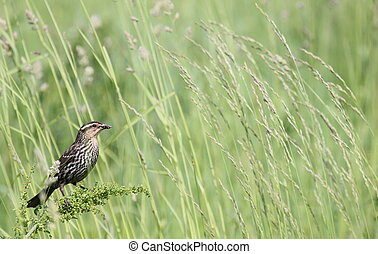 redwing in tall grass