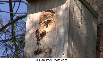 Common wasp nest in nesting box - Common wasp nest in bird...