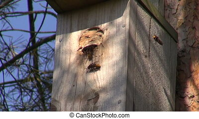 Wasps living in bird nestig box - Wasps living in bird...