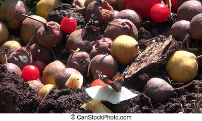 butterflies on rotting fruits - Red admiral butterflies...