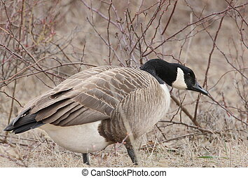 goose and briars - Canada goose standing in front of briars...
