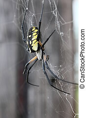 argiope 34 view - Female black yellow argiope hanging in her...