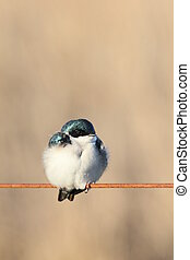 puffy tree swallow - Tree swallow with fluffed-up feathers