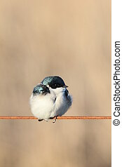 cute tree swallow - Tree swallow with fluffed-up feathers