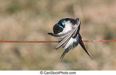 yoga - Preening tree swallow on a wire