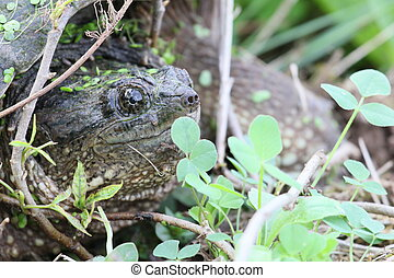 snapping turtle portrait - Snapping turtle among twigs and...