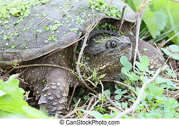 snapping turtle and twigs - Snapping turtle on the ground.
