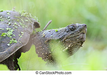 snapping turtle portrait - Snapping turtle with leaves and...