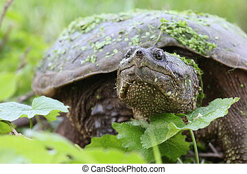 snapping turtle - Snapping turtle with green leaves.