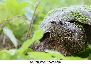 snapping turtle - Snapping turtle among leaves.