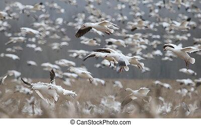 descending snow geese