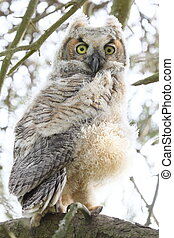 wide eyed owl - Immature great horned owl looking at the...