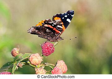Red Admiral butterfly - A red admiral butterfly feeding on a...