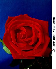 Red Red Rose - Before moving over to digital photography I...