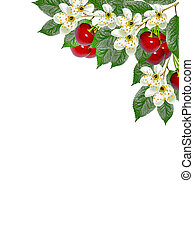 branch of berries cherries with leaves isolated on white...