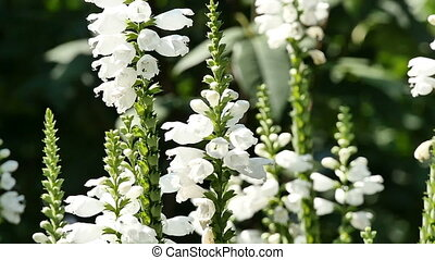 white flowers bells in garden