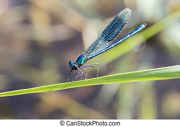 Calopteryx, splendens, Libélula,