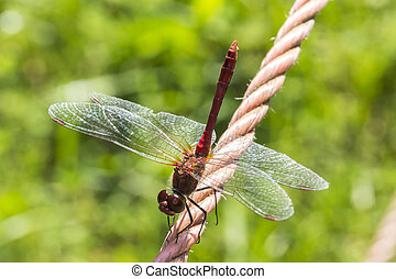 Sympetrum sanguineum, Ruddy darter, dragonfly from Germany -...