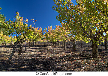 Gran Canaria, autumnal fruit garden in Las Cumbres, highest...