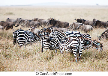 Herd of wildebeest and zebra grazing on grasslands of...
