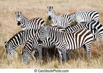 Herd of plains zebras grazing in African savanna - Herd of...