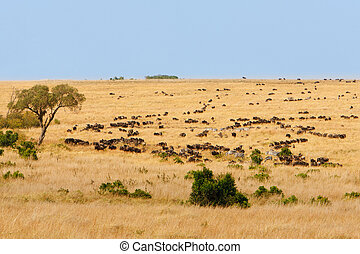 African grassland with wildebeest and zebra grazing - Wide...