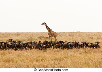 Giraffe and a herd of wildebeest in dry African savanna -...